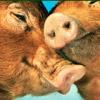 LOVE PIGS SLIDING GAME